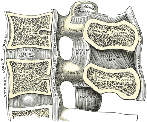 anterior longitudinal ligament the anterior longitudinal ligament all ...